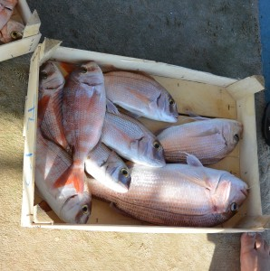 Long-line is one of the most selective fishing methods! We aimed for red seabream (Pagrus sp.), we got red seabream