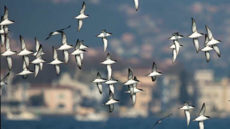 Yelkouan Shearwaters in the Bosphorus © Serhat Tigrel