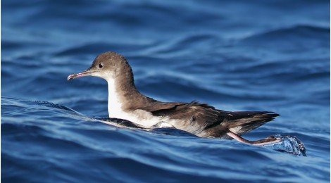 An Observation of Rafting Yelkouan Shearwaters in the Bosporus