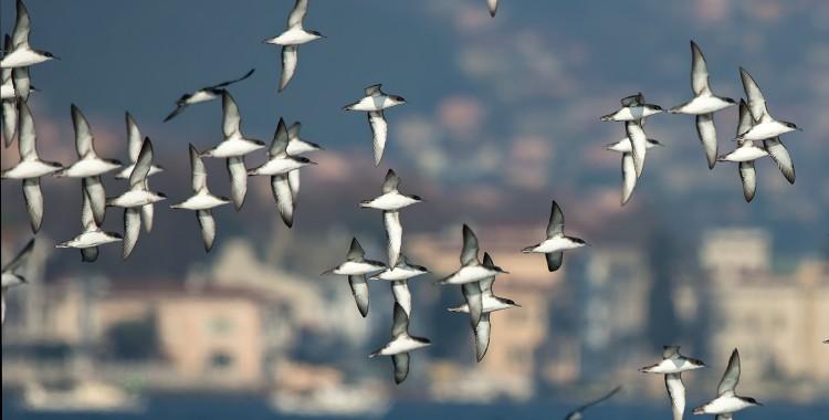 İstanbul Boğazında Yelkovanları İzlemek Neden Önemli?